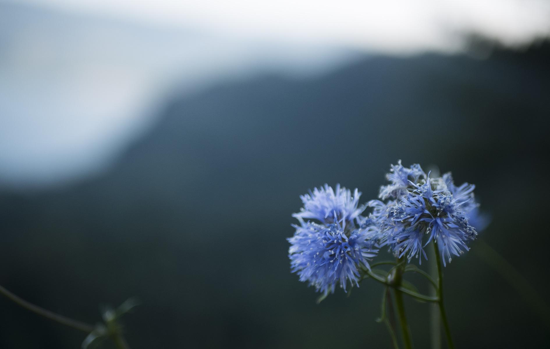 blue puffs