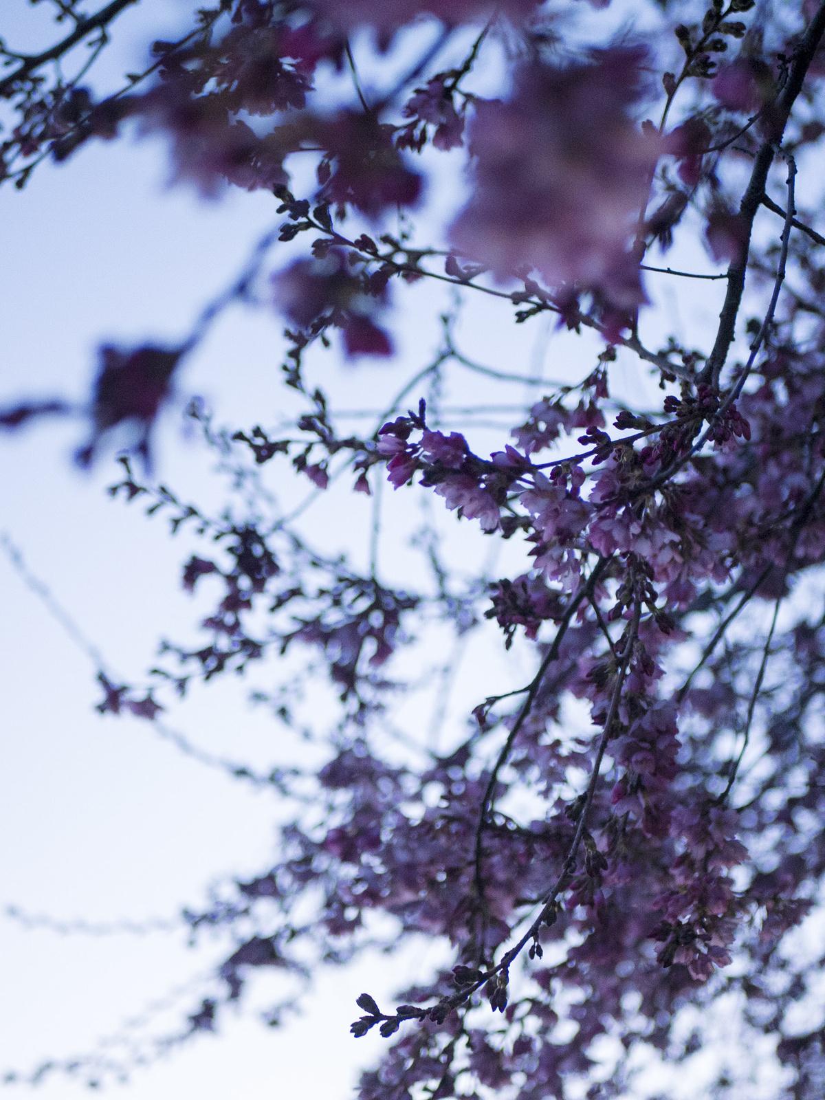 cherry blossoms begin