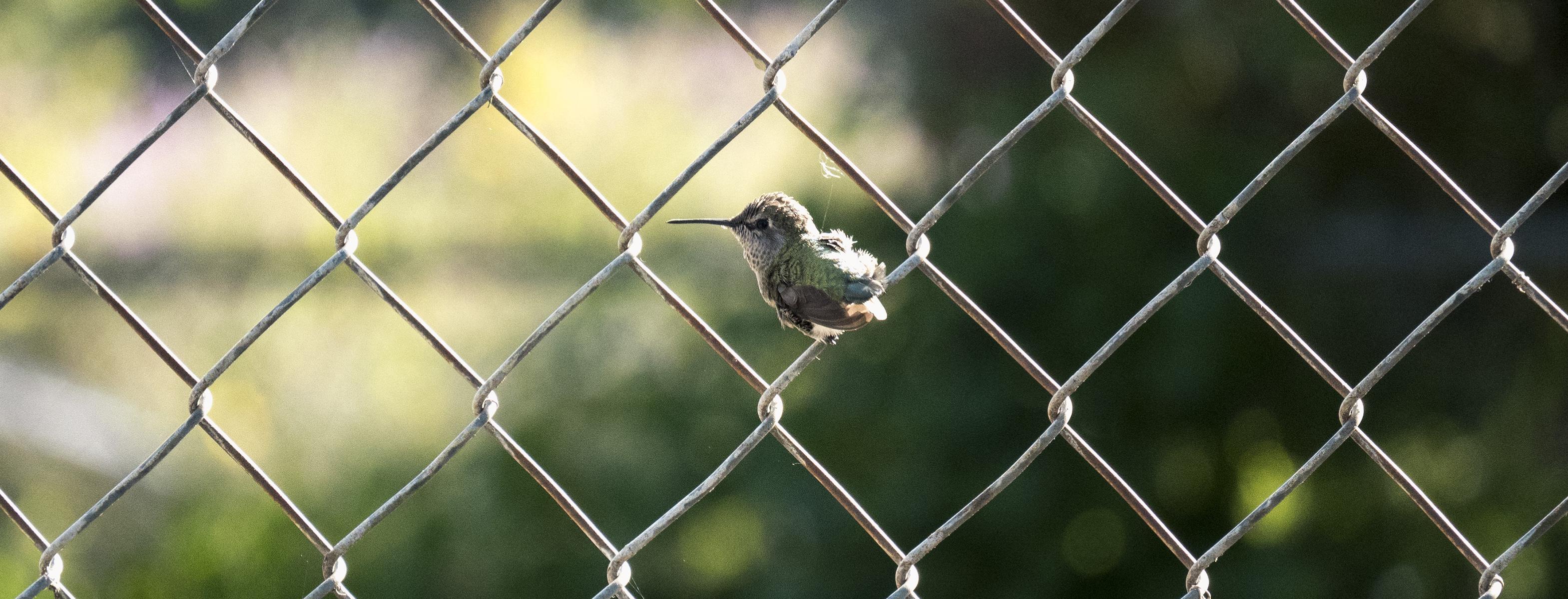 chainlink hummingbird