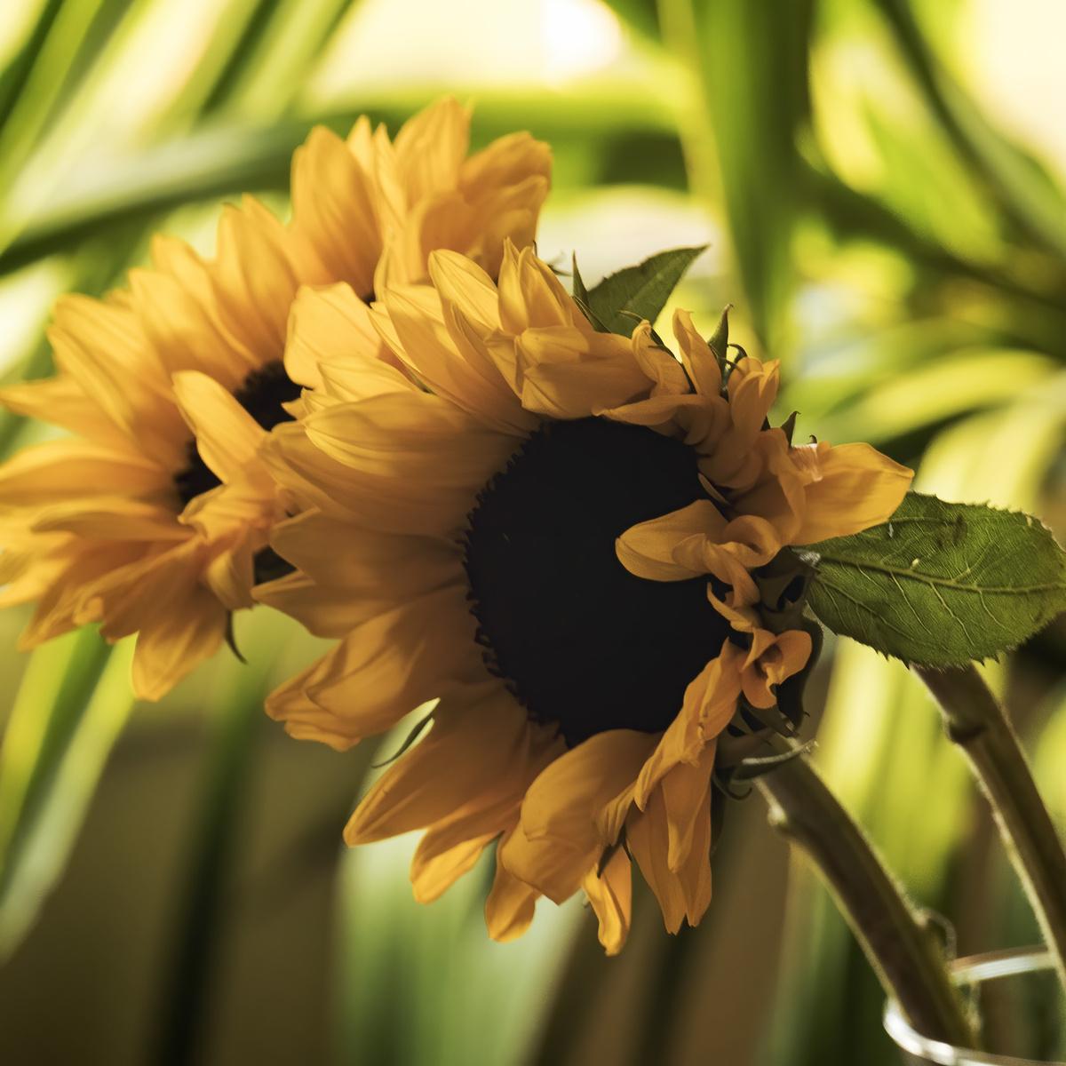 sunflowers in december