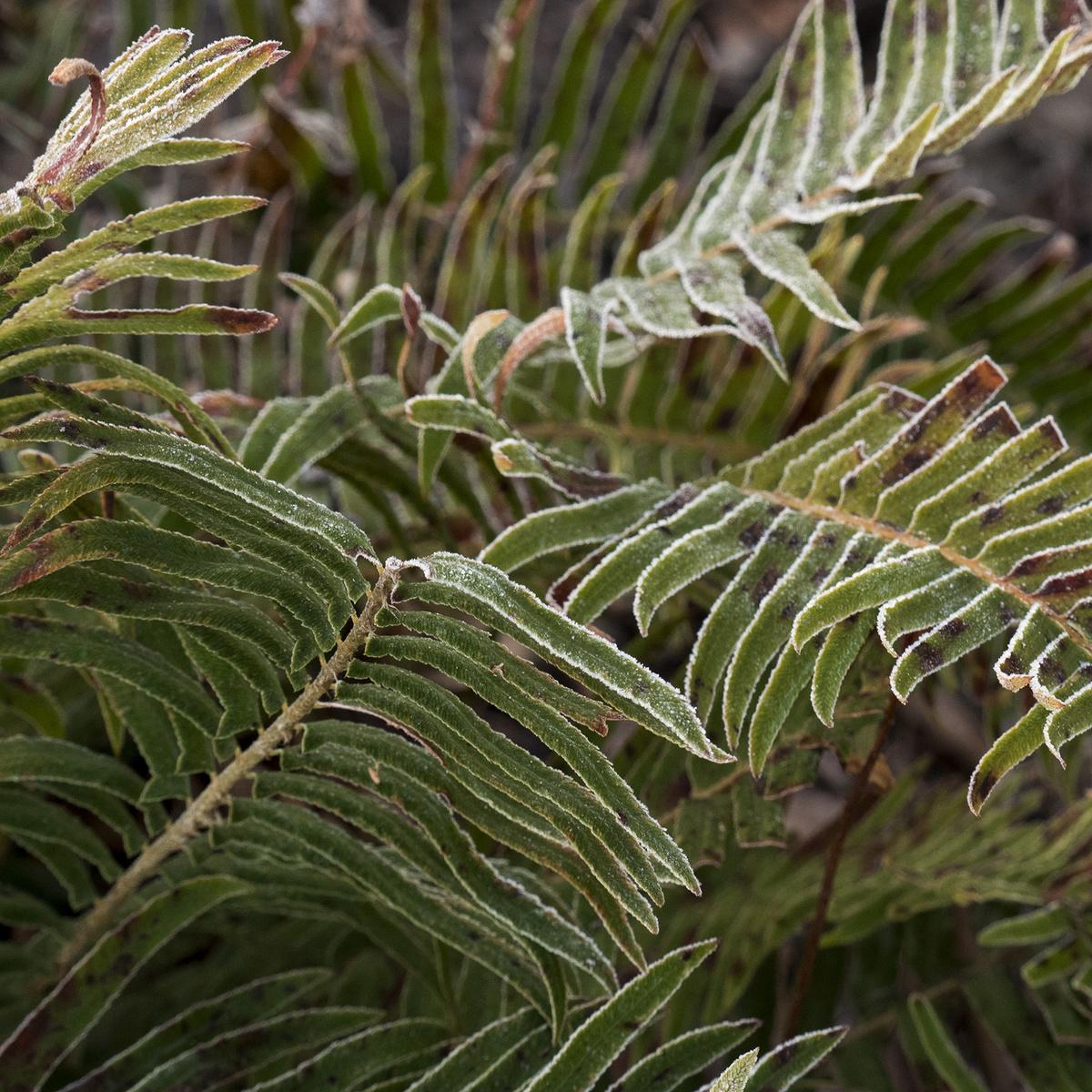 chilly ferns