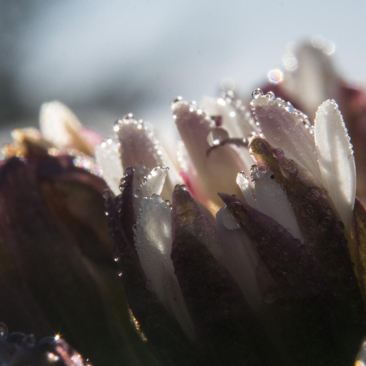sunlit dewdrops