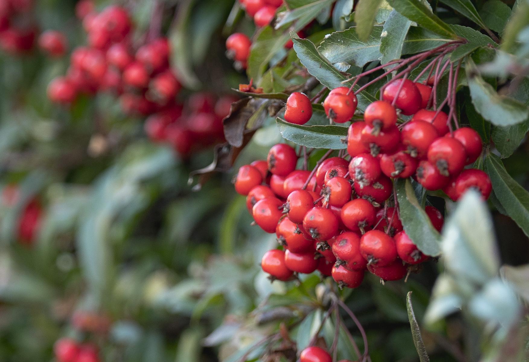 bushels of berries