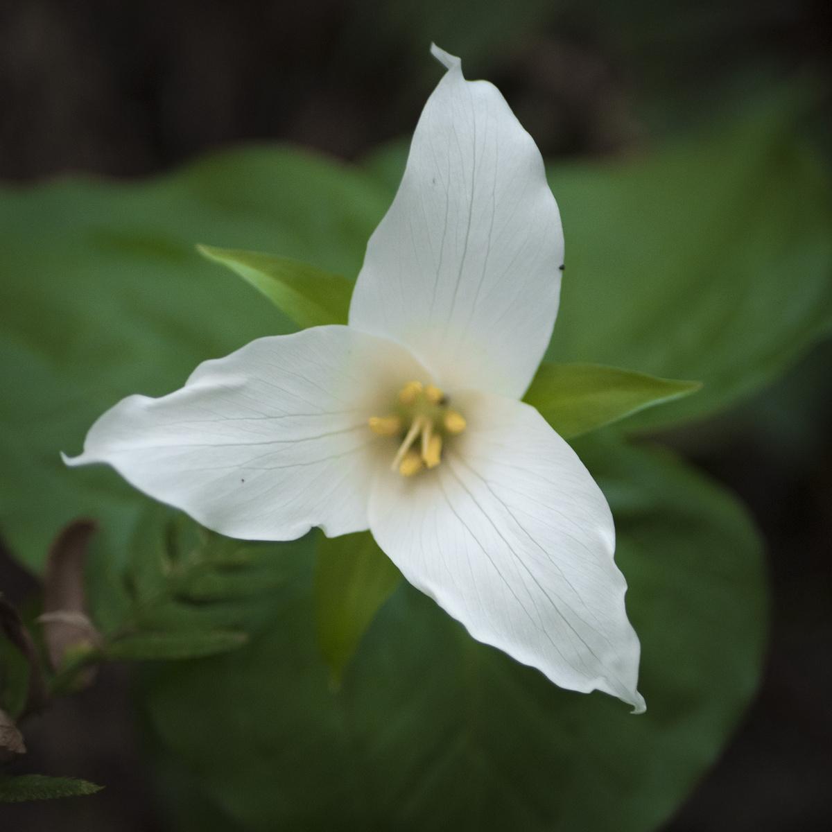tri-petals