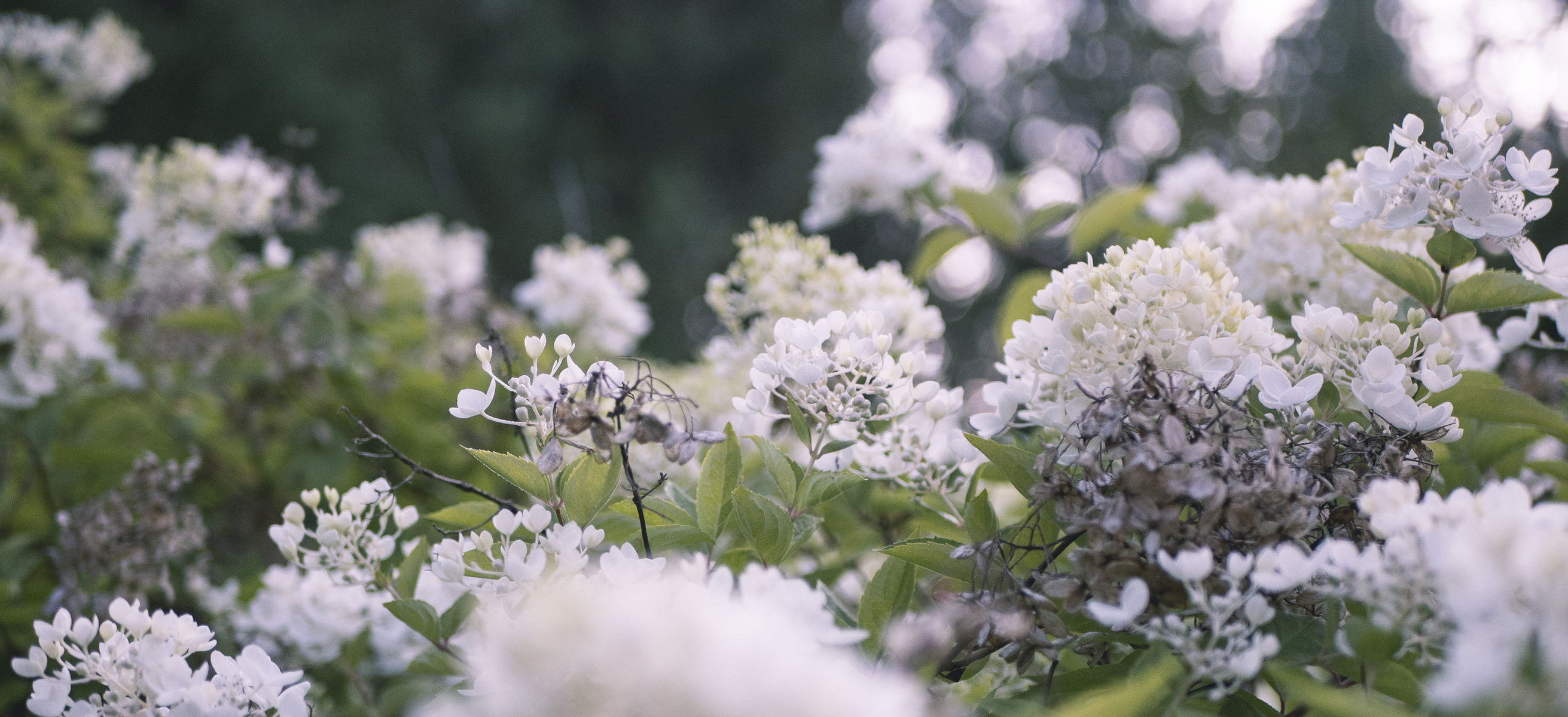 pale blossoms